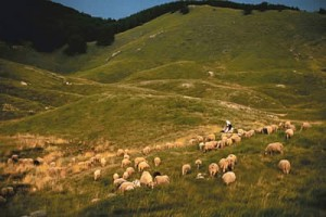 Sheep in the Valley